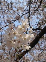 小頭町の桜