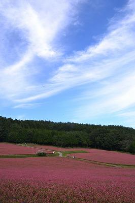 箕輪町 高嶺ルビーの花 2014 (3)