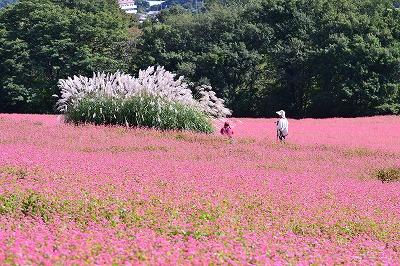 箕輪町 高嶺ルビ-の花と