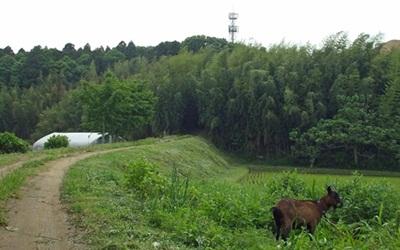 峠崎山と山羊(ブログ用)