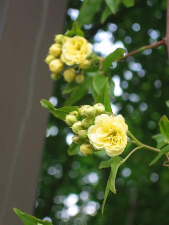 キモッコウバラ開花