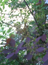 スモークツリー蕾