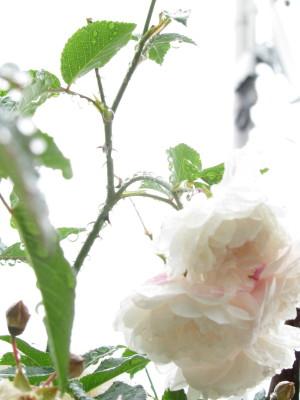 リトル・ホワイト・ペット2IMG_0001_13