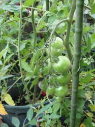トマト1IMG_0001