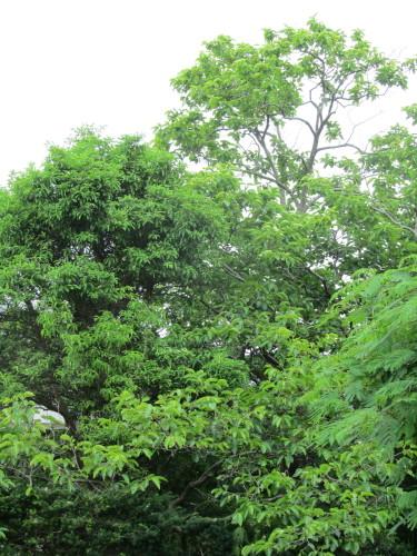 柿の木IMG_0001