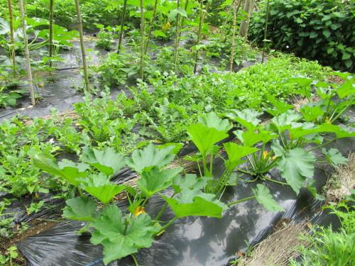 野菜畑IMG_0001_3