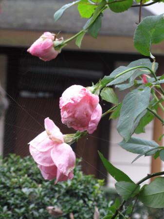 薔薇IMG_0001