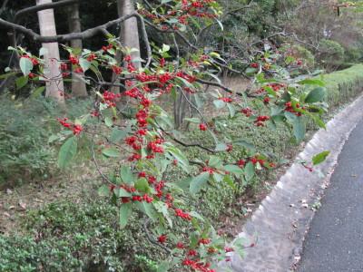 梅もどきIMG_0001
