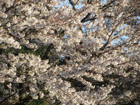 桜0001_1