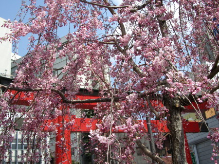 しだれ桜0001