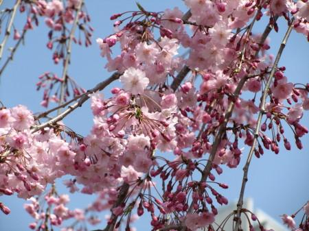 しだれ桜0001_1