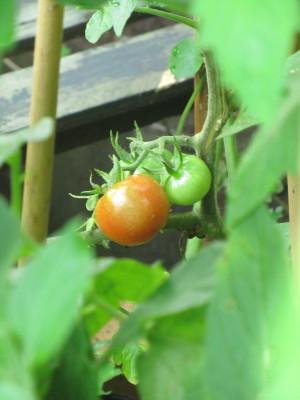 トマト0001_5
