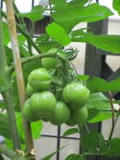 トマト0001_4
