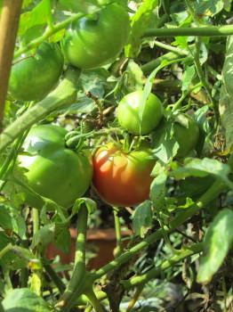 トマト0001_1