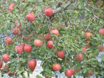 りんご0001