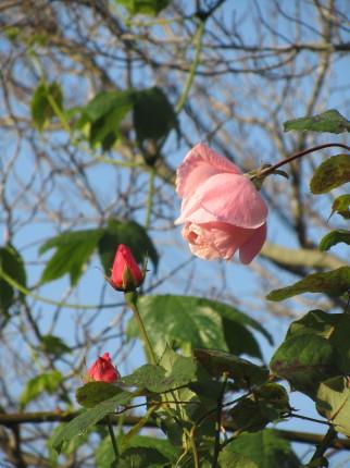 ピンクのバラ0001