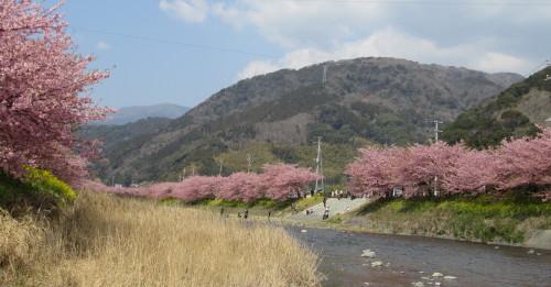河津桜0001。