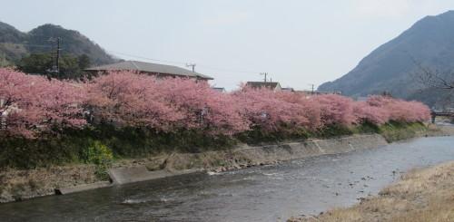 河津桜0001_1。