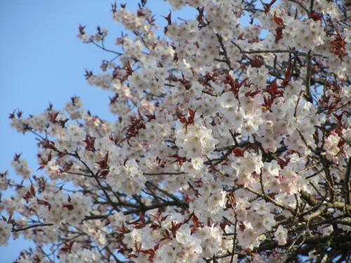 左近の桜0001_2