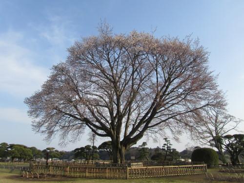 左近の桜0001