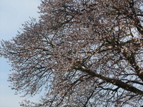 左近の桜0001_1