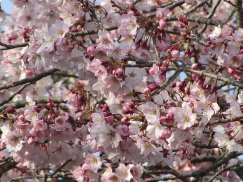 桜0001_3