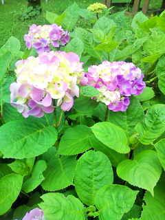 霧島紫陽花