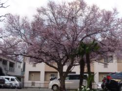 はやさき桜