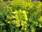 菜の花田圃