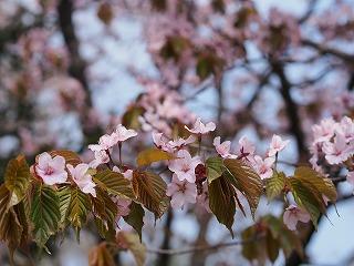 蝦夷山桜2013職場