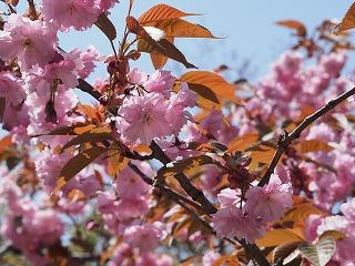 八重桜2013
