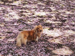 八重桜の絨毯2013の1