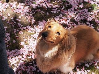 八重桜の絨毯2013の2