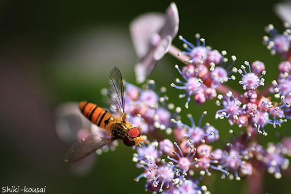 紫陽花&ハナアブ