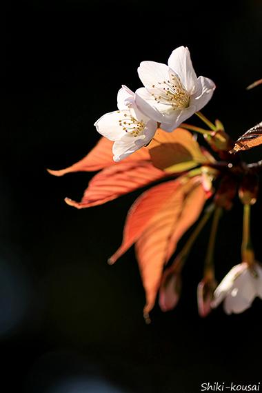 真昼の夜桜