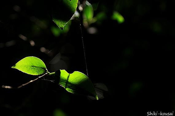 葉っぱと蜘蛛の糸