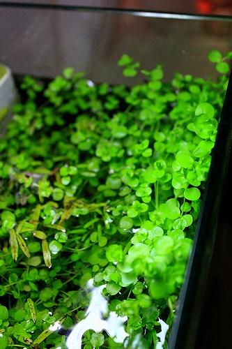 ラージパールグラス水上葉
