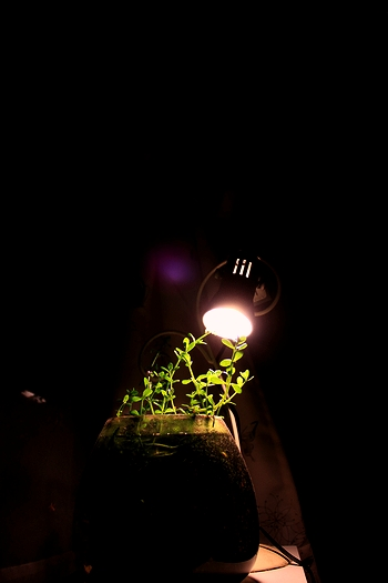 少ない光で伸びる