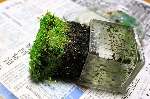 グロッソ水上葉植え替え2