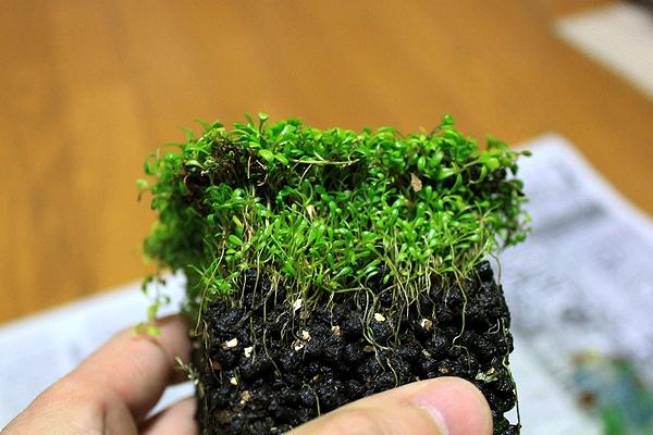 グロッソ水上葉植え替え4