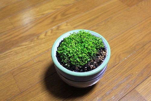 グロッソ水上葉植え替え5