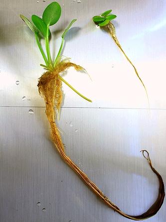 アマゾンフロッグピットの根