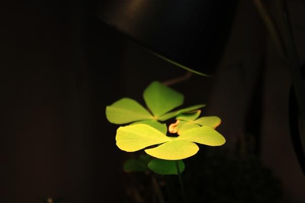 ベトナムの葉