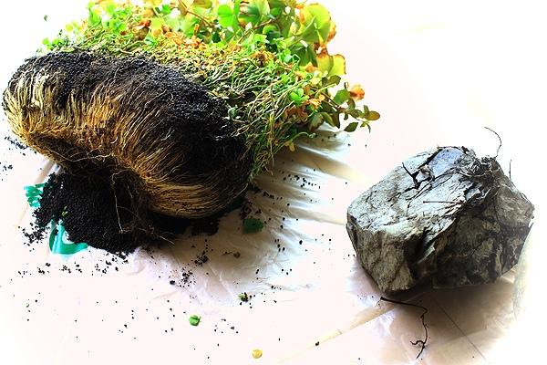ベトナムクローバーの根