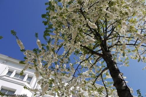 white house and white blossoms