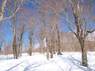 s04雪とブナ林と青空