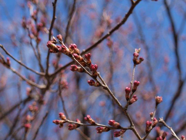 s桜の蕾3