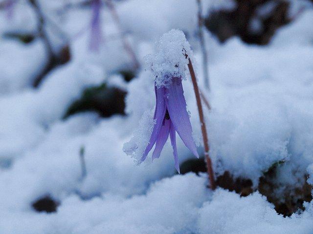 sカタクリの花に雪3