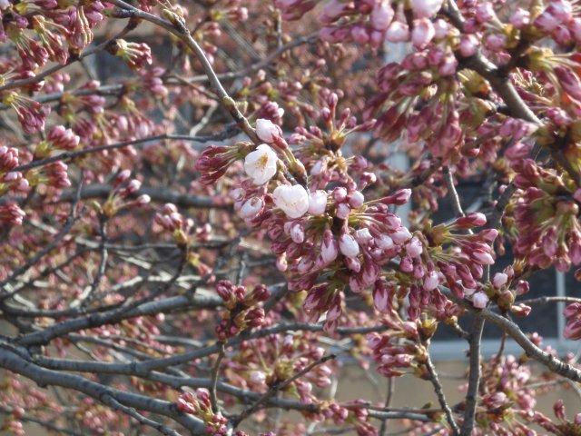 s築館の桜2