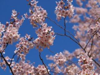 s02桜と青空2
